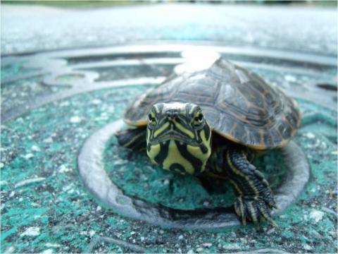 Roadside Turtle
