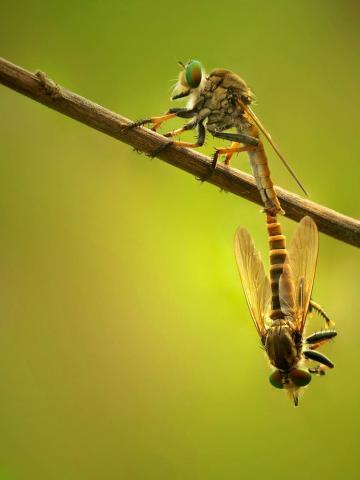 Hanging Mating