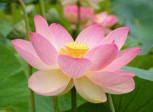 Nelumno_nucifera_open_flower_-_botanic_garden_adelaide2